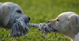 tug of war puppies